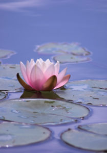 calm-pond-flower